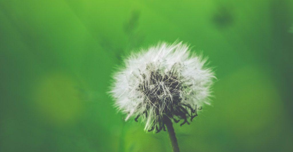 Dandelion allergy